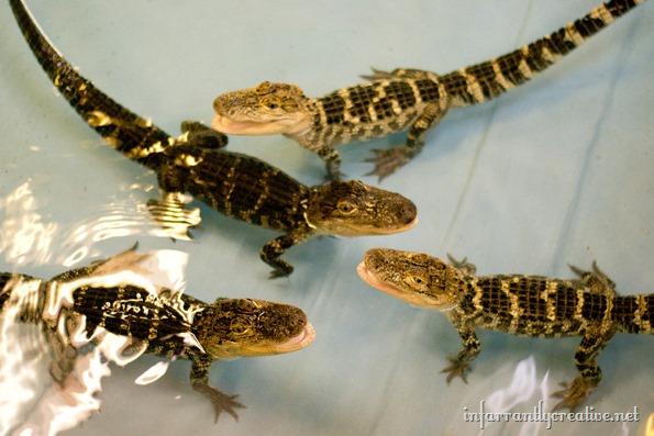 alligator-attraction