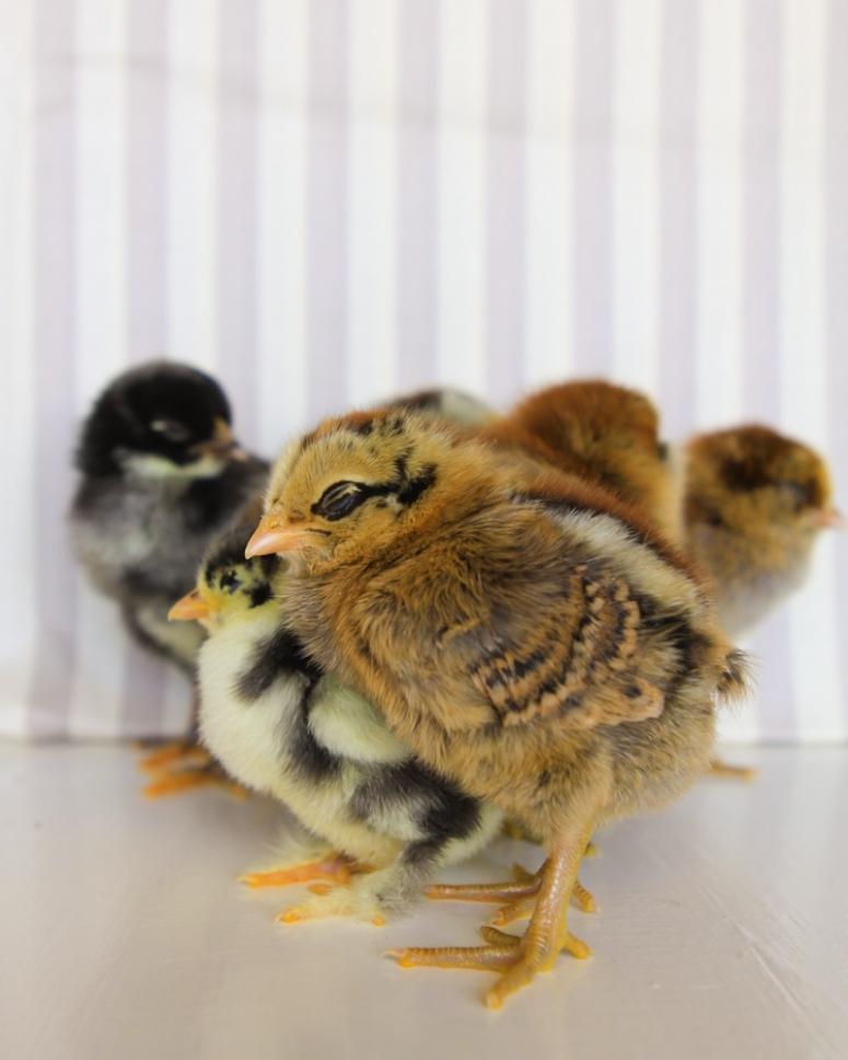 fluffy-chicks